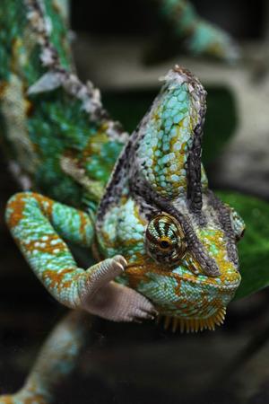 reptilia: Veiled chameleon (Chamaeleo calyptratus), also known as the Yemen chameleon. Wildlife animal.