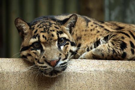 clouded leopard: Clouded leopard (Neofelis nebulosa). Wildlife animal. Stock Photo