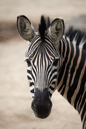 Chapman zebra (Equus quagga chapmani). Wildlife animal. Stock Photo