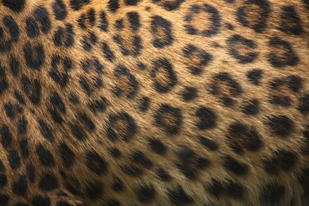 felid: North-Chinese leopard (Panthera pardus japonensis) fur texture. Wildlife animal. Stock Photo