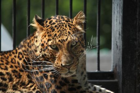 felid: North-Chinese leopard (Panthera pardus japonensis). Wildlife animal. Stock Photo