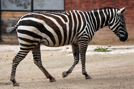savannas: Maneless zebra (Equus quagga borensis). Wildlife animal.