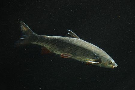 cypriniformes: Common nase (Chondrostoma nasus), also known as the sneep. Wildlife animal.