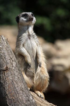 nervousness: Meerkat (Suricata suricatta), also known as the suricate. Wild life animal. Stock Photo