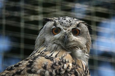 ural owl: Western Siberian eagle owl (Bubo bubo sibiricus). Wildlife animal. Stock Photo