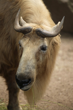 bovid: Golden takin (Budorcas taxicolor bedfordi). Wildlife animal.