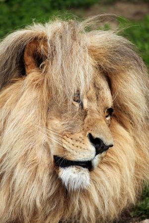 panthera leo: Katanga lion (Panthera leo bleyenberghi), also known as the Southwest African lion. Wildlife animal.