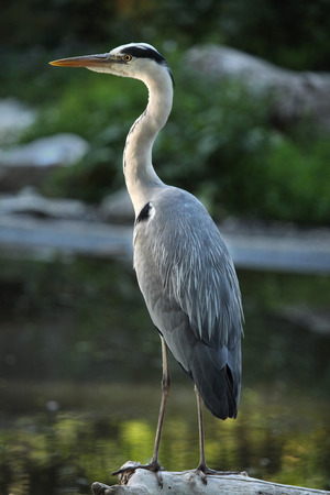 great blue heron: Great blue heron (Ardea herodias). Wild life animal. Stock Photo