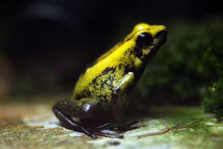 poison frog: