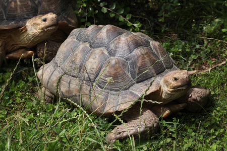 spurred: African spurred tortoise (Centrochelys sulcata), also known as the sulcata tortoise. Wildlife animal.