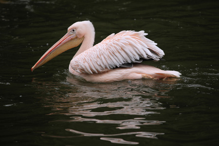 great white pelican: Great white pelican (Pelecanus onocrotalus), also known as the rosy pelican. Wildlife animal. Stock Photo