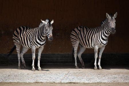 savannas: Chapman zebra (Equus quagga chapmani). Wildlife animal. Stock Photo
