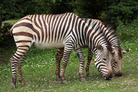 zebra: Hartmann mountain zebra Equus zebra hartmannae. Wildlife animal.