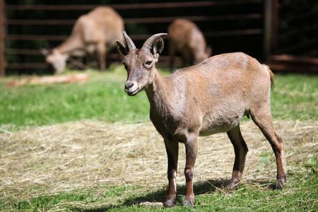 capra: East Caucasian tur (Capra caucasica cylindricornis), also known as the Daghestan tur. Wildlife animal.