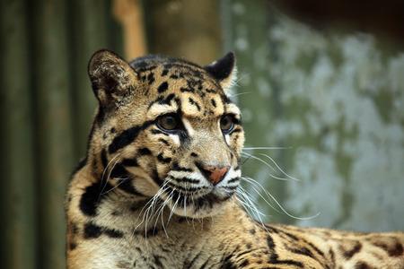 Clouded leopard (Neofelis nebulosa). Wildlife animal. Stock Photo