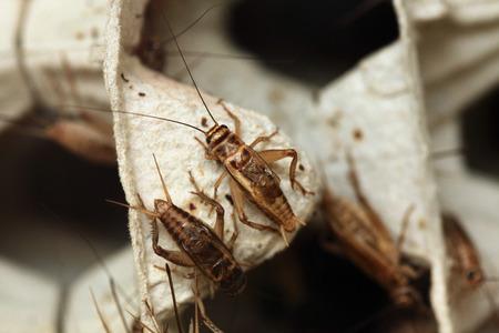 pack animal: House cricket (Acheta domestica) on egg pack. Wild life animal.