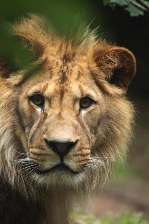 felid: Barbary lion (Panthera leo leo), also known as the Atlas lion. Wildlife animal.