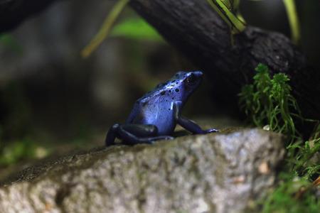 rana venenosa: Rana veneno de dardo azul (Dentrobates azureus), también conocido como el veneno de flecha azul rana. Animales de la fauna.