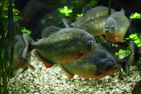 pygocentrus: Red-bellied piranha (Pygocentrus nattereri), also known as the red piranha. Wildlife animal.