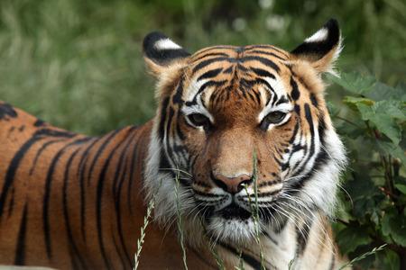 panthera tigris: Tigre malayo (Panthera tigris jacksoni). Animales de la fauna.
