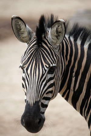 chapman: Chapman zebra (Equus quagga chapmani). Wildlife animal. Stock Photo