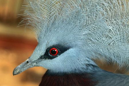 wildlife: Southern crowned pigeon (Goura scheepmakeri). Wildlife animal. Stock Photo