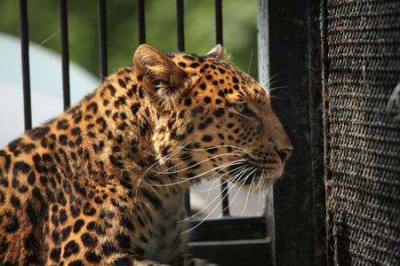 panthera pardus: North-Chinese leopard (Panthera pardus japonensis). Wildlife animal. Stock Photo