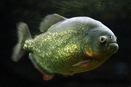 piranha: Red-bellied piranha (Pygocentrus nattereri), also known as the red piranha. Wildlife animal.