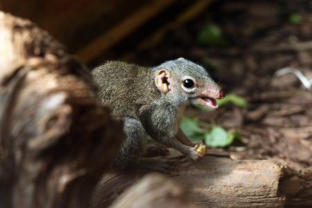 Northern treeshrew (Tupaia belangeri). Wildlife animal.