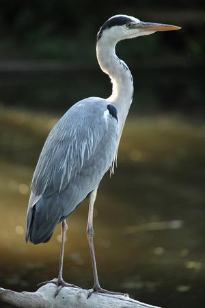 botas altas: Garza de gran azul (Ardea Herodias). Vida animal salvaje.