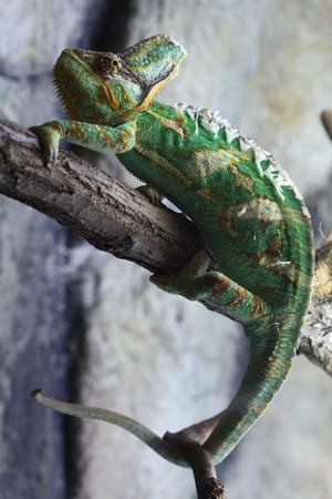 reptilia: Veiled chameleon Chamaeleo calyptratus, also known as the Yemen chameleon. Wildlife animal.