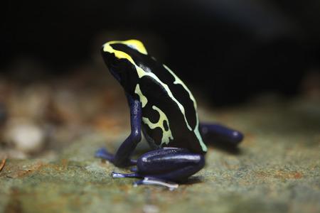 poison frog: Rana de teñido (Dendrobates tinctorius), también conocida como la rana venenosa de teñido. Animales de la fauna.