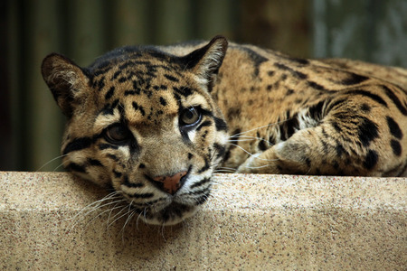 clouded leopard: Clouded leopard (Neofelis nebulosa). Wildlife animal. Stock Photo