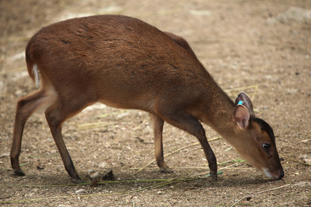 toed: Chinese muntjac (Muntiacus reevesi), also known as the Reeves muntjac. Wildlife animal.