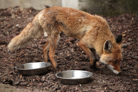 canid: Red fox (Vulpes vulpes) inspecting empty bowls. Wild life animal.