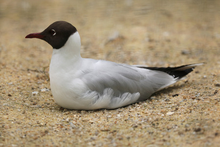 chroicocephalus: Black-headed gull (Chroicocephalus ridibundus). Wild life animal. Stock Photo