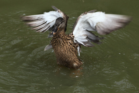 dabbling duck: Wild duck (platyrhynchos), also known as the mallard spread wings. Wild life animal. Stock Photo