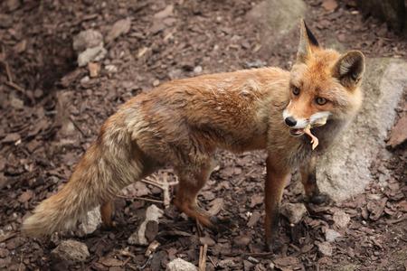 red fox: Red fox (Vulpes vulpes) eating chicken. Wild life animal. Stock Photo