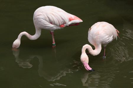 phoenicopterus: Greater Flamingo (Phoenicopterus roseus). Wild life animal. Archivio Fotografico