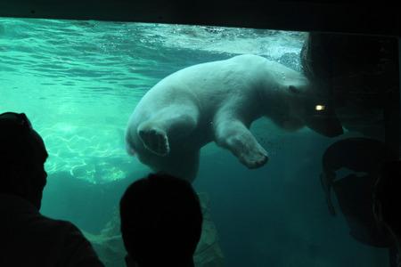 zoo as: VIENNA, AUSTRIA - JUNE 7, 2015: Visitors look as a polar bear Ursus maritimus swimming underwater at Schonbrunn Zoo in Vienna, Austria. Wild life animal.
