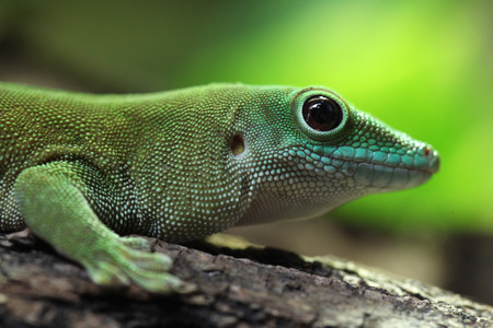 kochi: Koch giant day gecko (Phelsuma madagascariensis kochi), also known as the Madagascar day gecko. Wildlife animal.