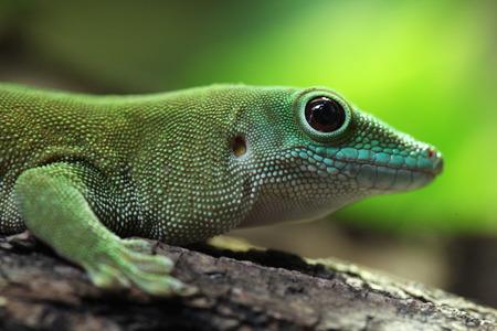 wildlife animal: Koch giant day gecko (Phelsuma madagascariensis kochi), also known as the Madagascar day gecko. Wildlife animal.
