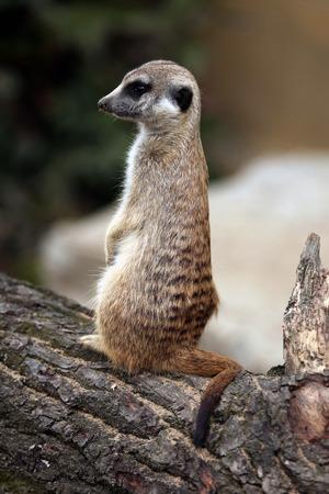 suricata suricatta: Meerkat (Suricata suricatta), also known as the suricate. Wildlife animal. Stock Photo