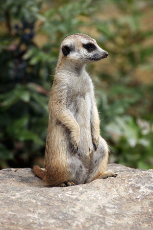 life guard stand: Meerkat Suricata suricatta, also known as the suricate. Wildlife animal.