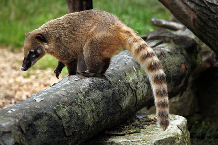 ring tailed: South American coati (Nasua nasua), also known as the ring-tailed coati. Wildlife animal. Stock Photo