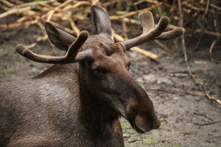palmate: Moose (Alces alces), also known as the elk. Wild life animal.