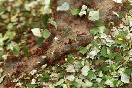 hormiga hoja: Las hormigas cortadoras de hojas (Atta sexdens). Vida animal salvaje. Foto de archivo