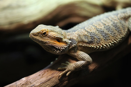 inland: Central bearded dragon (Pogona vitticeps), also known the inland bearded dragon. Wildlife animal.