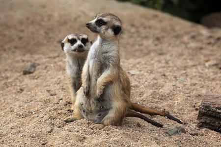 nervousness: Meerkat (Suricata suricatta), also known as the suricate. Wildlife animal. Stock Photo