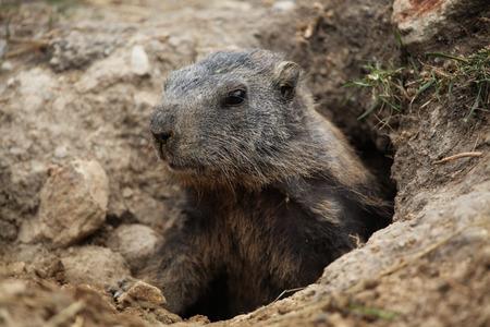 nervousness: Alpine marmot (Marmota marmota). Wild life animal.